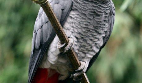 Consultation vétérinaire spécialisé pour perroquet gris du Gabon à Dijon